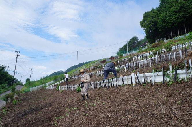 下栗の急斜面での蕎麦畑づくり