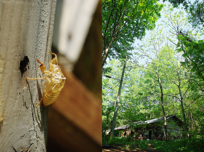 フィールド・ノートの庭で見つけたエゾハルゼミの抜け殻。宿はタイマグラの木立に抱かれるように佇んでいます