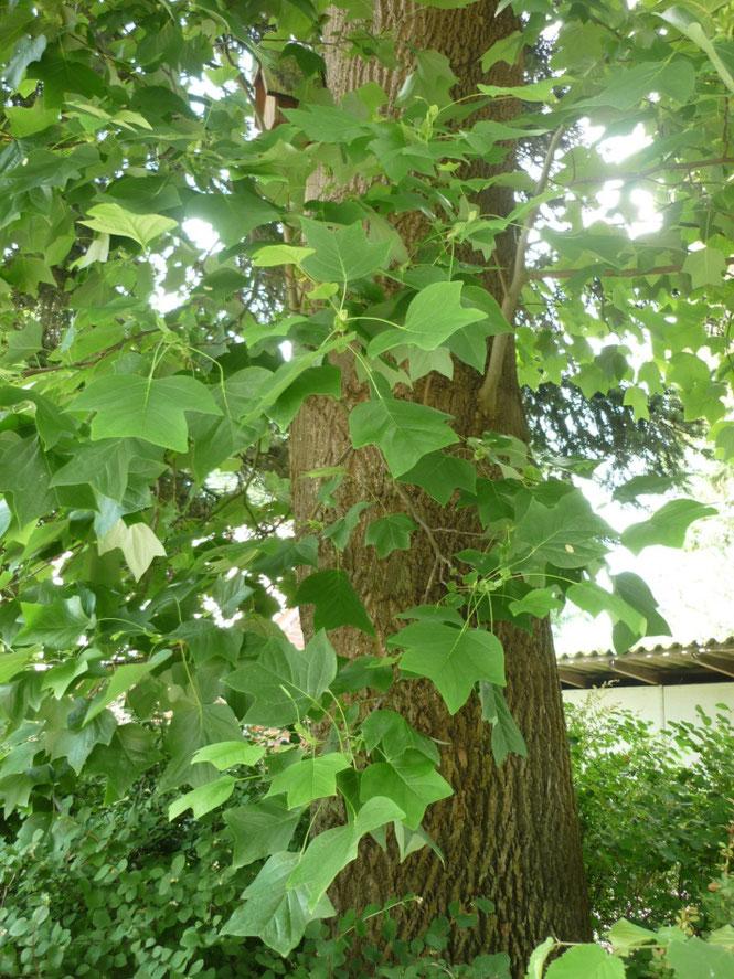 Die Blätter des aus Nordamerika stammenden Tulpenbaumes wirken wie abgeschnitten.