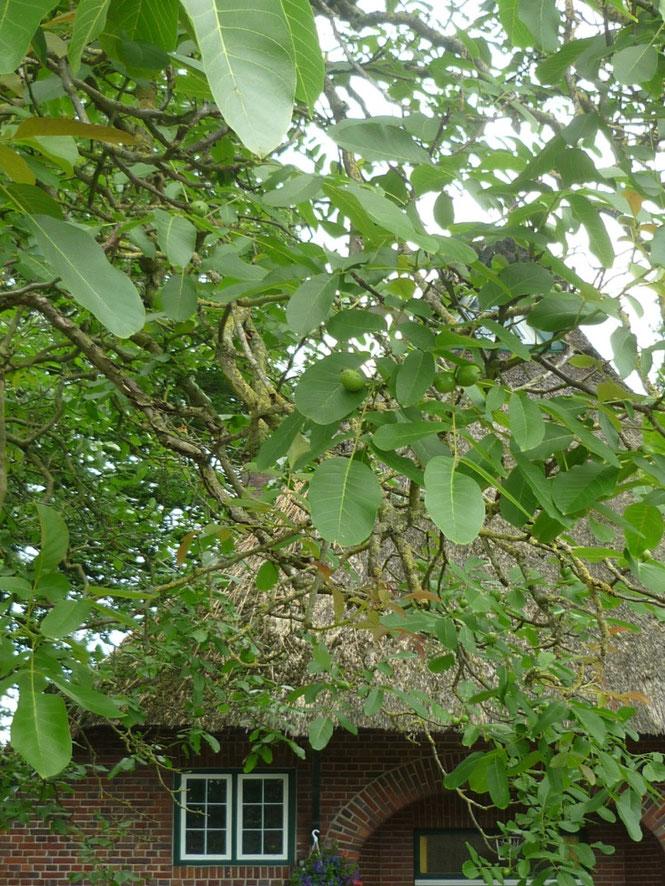 Ein Walnussbaum vor dem ehemaligen Bauernhaus Hohle Straße 7