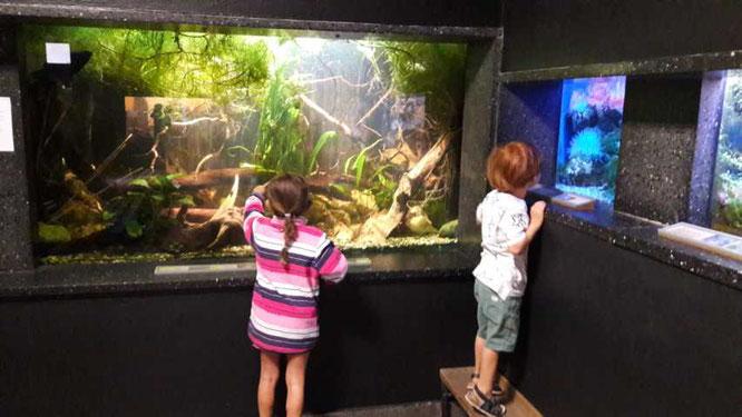 heimische Tierwelt Fische Aquarium
