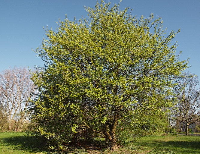 Berühmt acer campestre L. - Dendroculus-Baumbetrachtung &NK_95