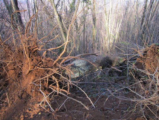 Environnement protégé vu par le Maire d'Oloron et ses petits moutons, dans la forêt du Bager