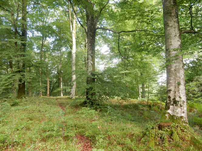 Forêt ancienne du Bager d'Oloron à sauvegarder- l'ACCOB et SEPANSO64 s'y emploient.