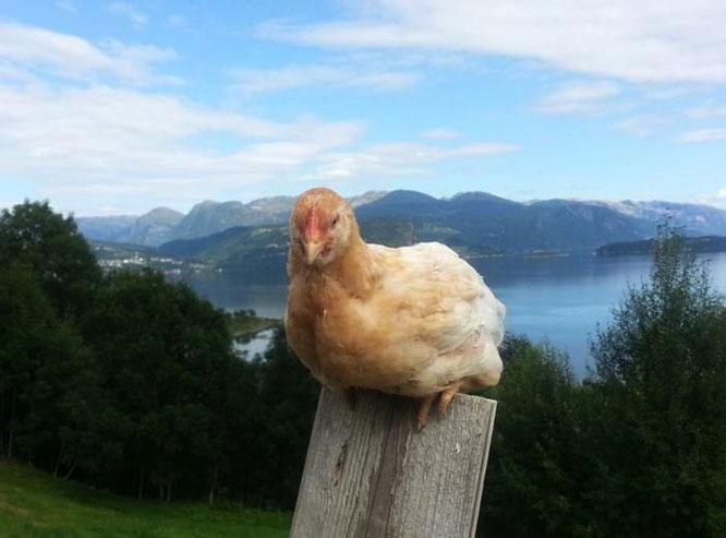 burhøns frittgående høner økologiske egg