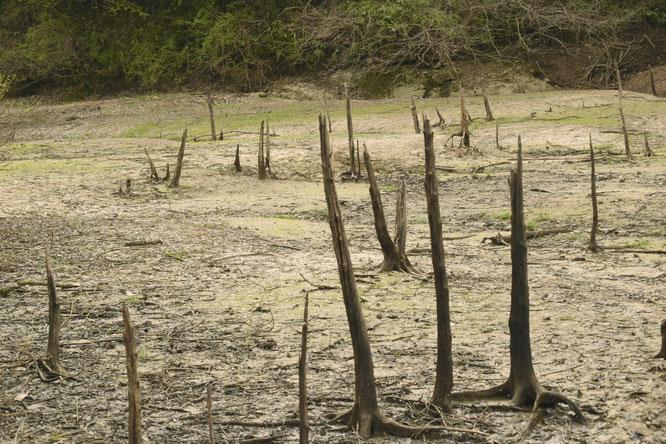 ダムの淵に堆積した土壌には、立ち枯れた木々のすがたが。