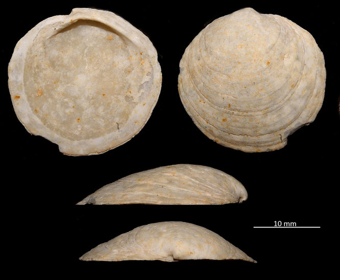 Miltha incrassata, Miocene dell'Aquitania
