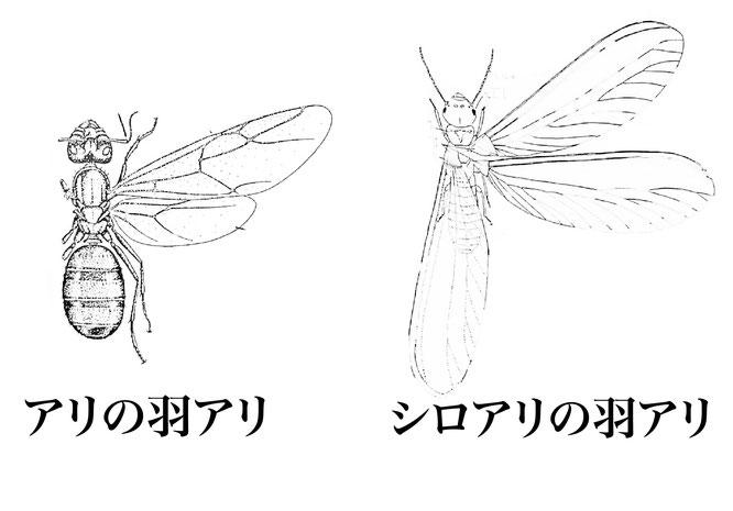 アリの有翅虫(ユウシチュウ)とシロアリの有翅虫