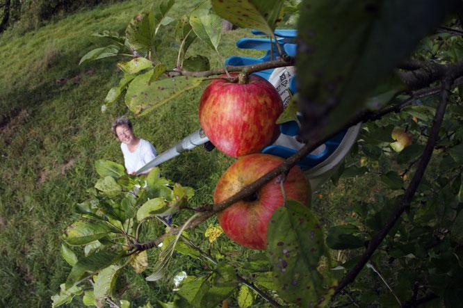Apfelernte (Quelle: Bilddatenbank NABU, Bernd Schaller)