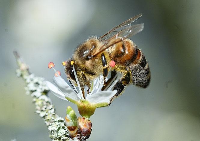 Honigbiene (Quelle: Bilddatenbank NABU, Peter Brixius)