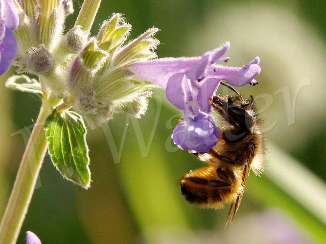 09.05.2018 : Rostrote Mauerbiene an der Katzenminze