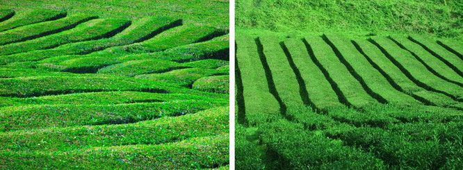 """Brewed with a view: Cameron Highlands' tea plantations (4° 31′ 45″ N, 101° 20′ 20″ E)."""