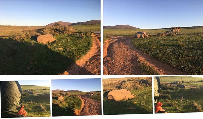 Rhino-Positionierung: beobachten von Annäherung und Angriffshaltung sowie Rückzug und Entspannung...