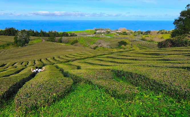 """...the only tea plantation in Europe (since 1883)."""" #CháPortoFormoso #Truro"""