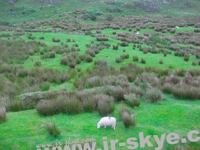 Zu Spitzenzeiten grasen jährlich ca. 8 Millionen Schafe auf Irlands grünen Wiesen. Die Menschenpopulation weißt dagegen lediglich 4.6 Millionen Exemplare auf…