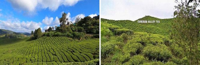 Cameron Highlands, Malaysia - 4° 31′ 45″ N, 101° 20′ 20″ E