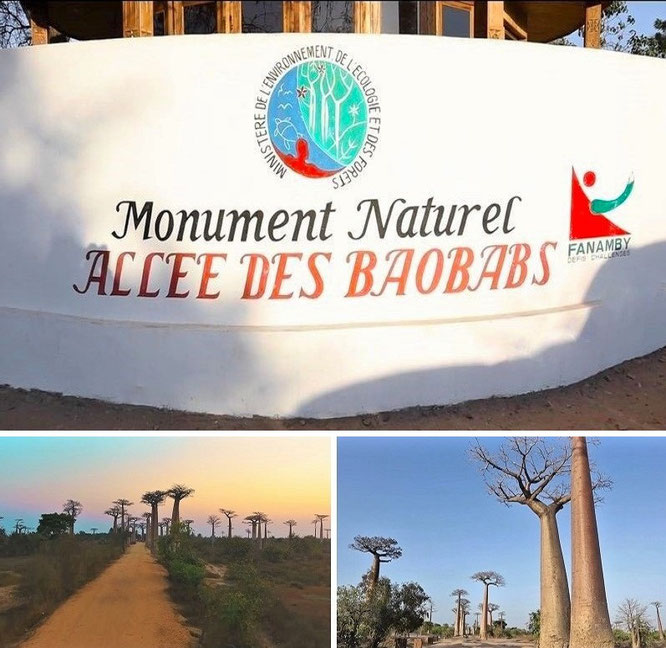 """...discover Madagascar's contrasts and delightful wildlife in style: spectacular array of wildlife and the highest biodiversity on planet earth - Allee des Baobabs, Menabe - 20° 15′ 3″ S, 44° 25′ 6″ E."""