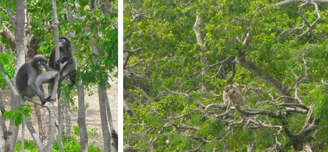 Brillenaffen und Makaken: gesehen bei Pala U (links) und direkt in Hua Hin, nördlich der Petchkasem Road (rechts)...
