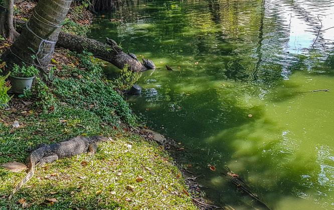 Wildlife im Lumphini Park in Bangkok