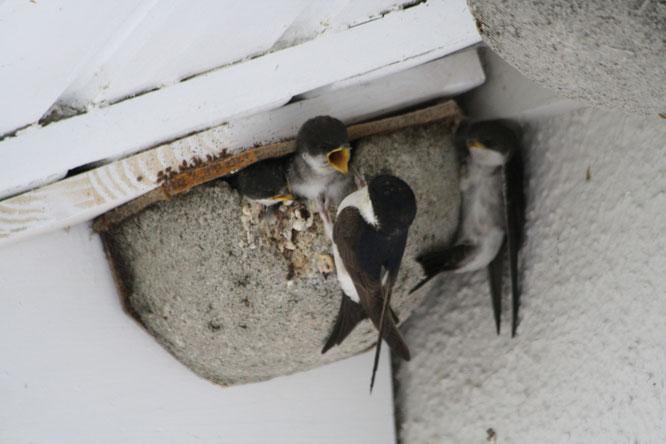 Bild: Mehlschwalben Aktion: Ein Herz für Schwalben NABU Ravensburg