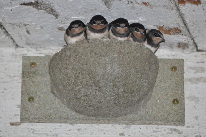 Bild: Ein Herz für Schwalben NABU Ravensburg Schwalben Mauersegler
