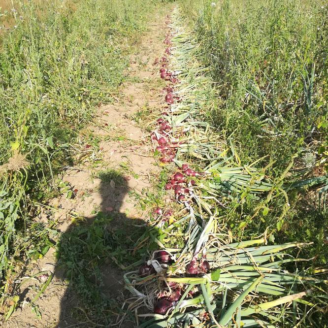 Récolte d'oignons rouges