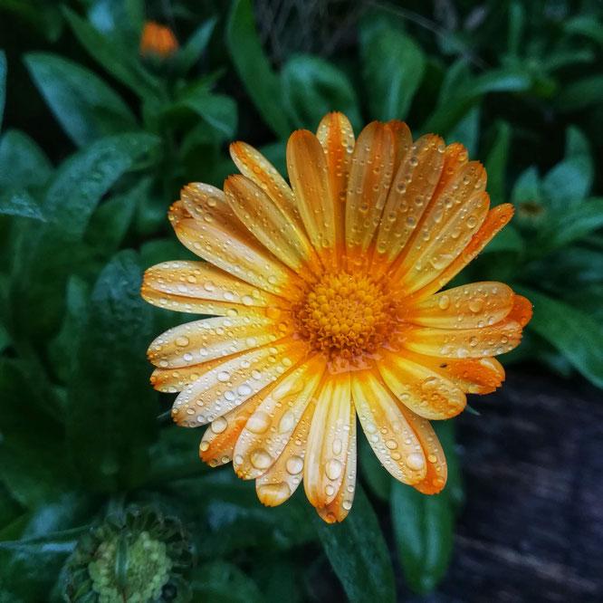 Les petits soleils du jardin