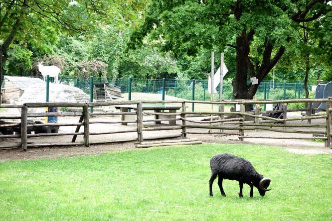 BIld: Schaf und Ziege im Kinderbauernhof, Görlitzer Park, Berlin