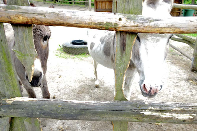 Bild: Esel im Kinderbauernhof, Görlitzer Park, Berlin