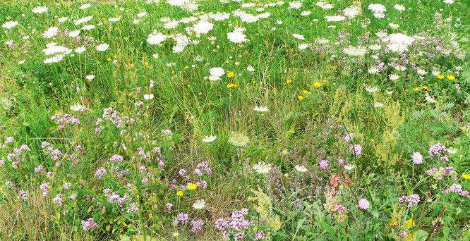Wildblumenwiese mit Wilder Möhre, Färberkamille, Knautie, Dost, Ampfer, Feldthymian, Rainfarn, Foto: U. Postler, 2017