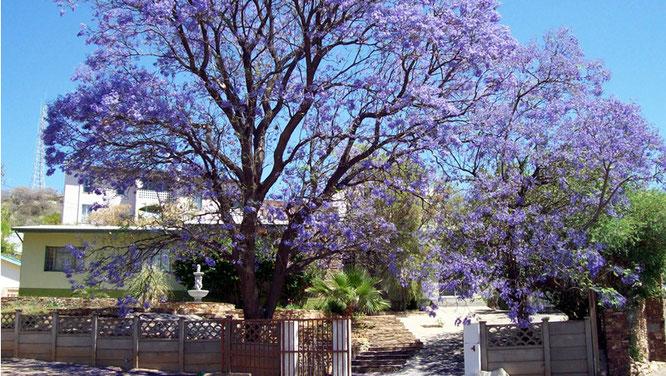 Blühender Jacaranda-Baum
