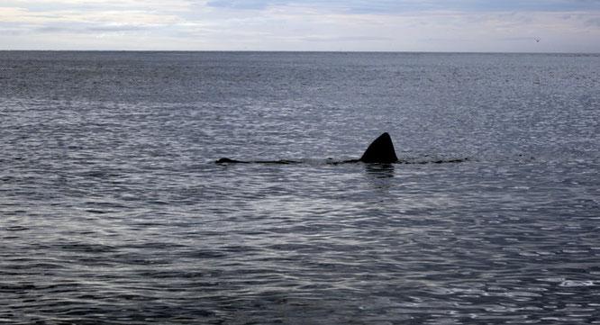 Riesenhai an der Küste von Snæfellsnes