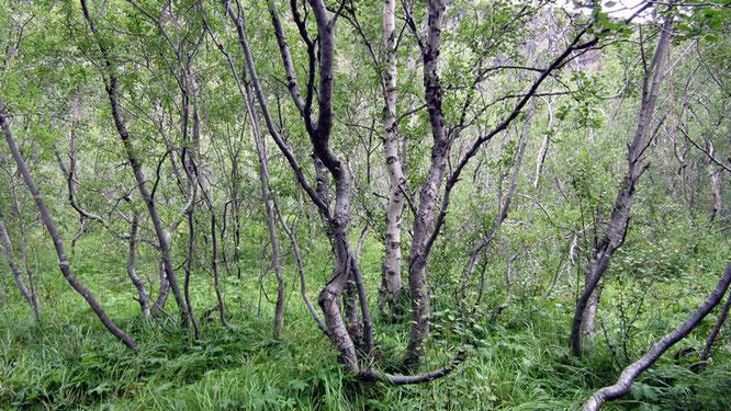 Birkenwald bei Akureyri