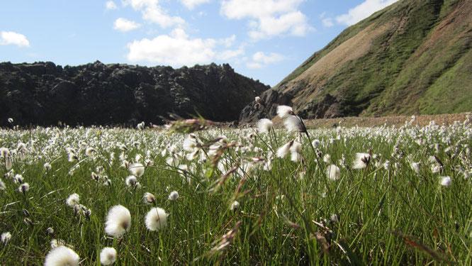 Wollgras bei Landmannalaugar