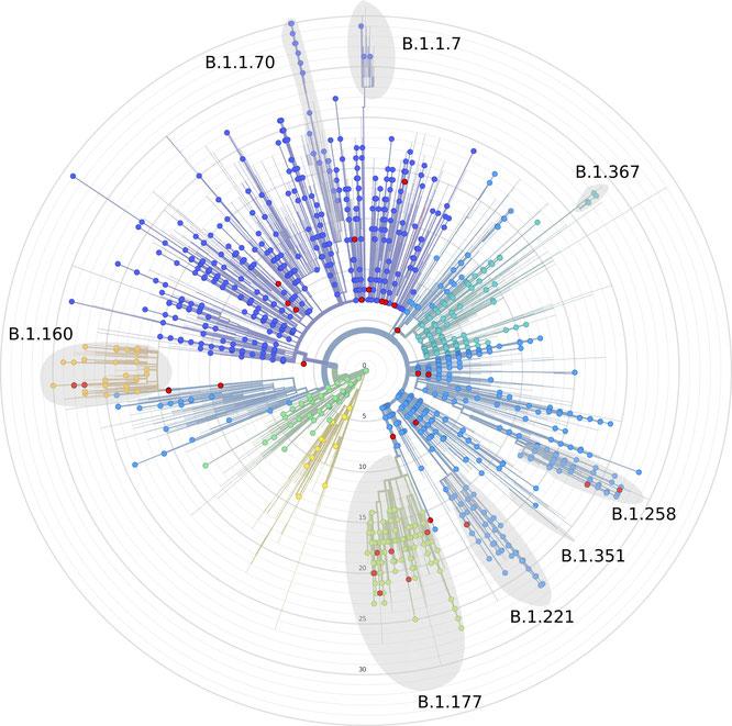 SARS-CoV-2-Mutationsbaum der untersuchten Proben: Wuhan-Variante im Ursprung, die Kreise zählen die Anzahl der Mutationen. Rot markiert sind die Proben aus Thüringen.  CaSe group, Universitätsklinikum Jena