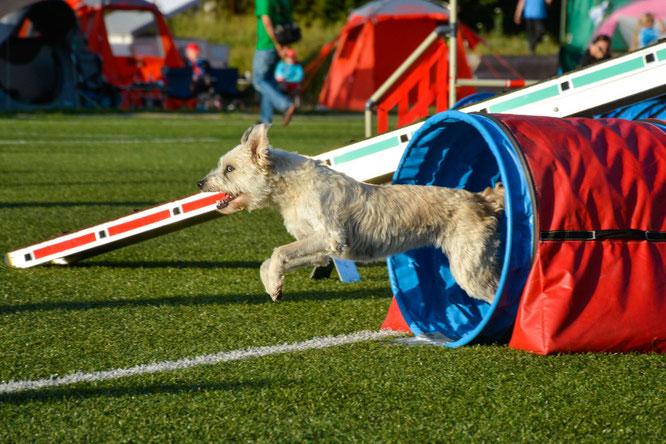 Agilitytraining – Hund läuft durch Tunnel