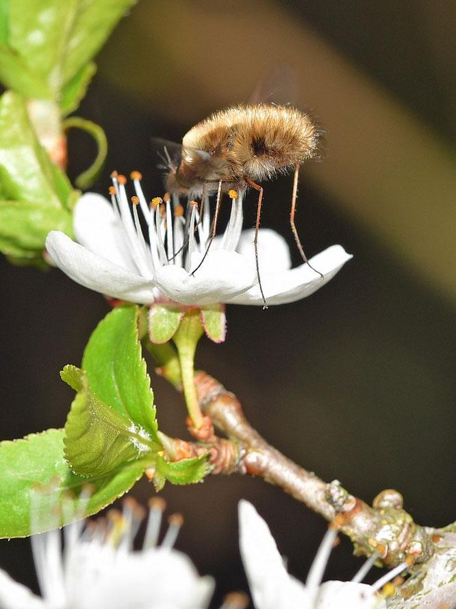 Fremdbestäubung durch Insekten bei der Schlehe / Schwarzdorn