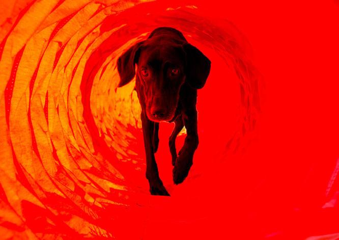 Rhodesian Ridebackmix im Agilitytunnel