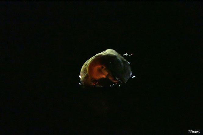 ホシハジロ