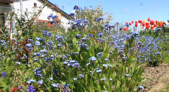 Blumenbeet in Gartenstadt-Garten, im Hintergrund das Gartenhäuschen.