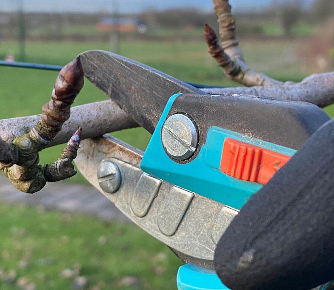 Das wichtigste Utensiel beim Obstbaumschnitt - die Gartenschere (Foto: Gartenstadt / MK)