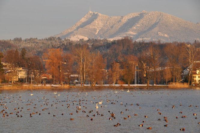 Wasservögel in der Trottlibucht (Foto Elisabeth Bossard-Meister)
