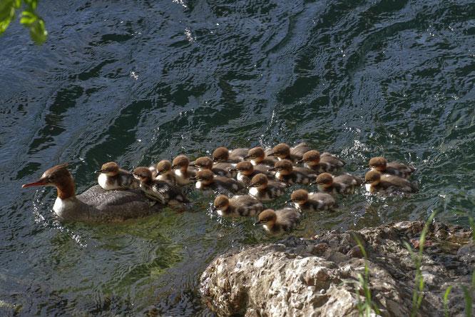 Gänsesäger-Weibchen mit rekordverdächtig vielen 18 Jungvögeln (Pulli) in der Reuss in Luzern. (Foto: Phillippe Stephani)