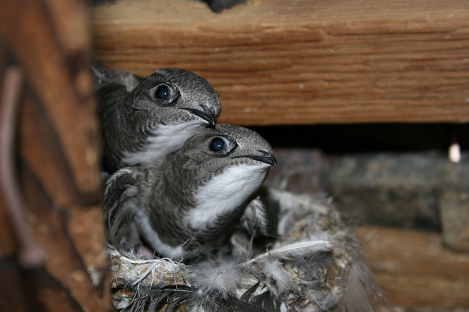 Alpensegler-Nestlinge im Wasserturm (Foto Sebastian Meyer)