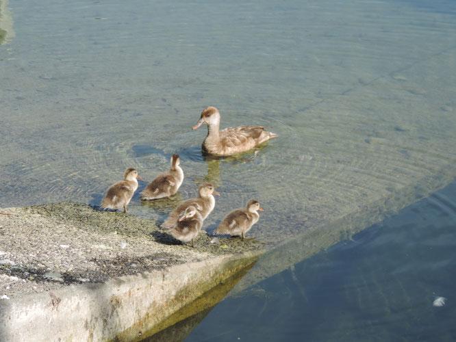 Kolbenten-Weibchen mit Jungvögeln (Pulli) in der Schiffswerft in Luzern. (Foto: Beatrice Wydler)