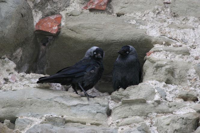Dohlenpaar in einer Brutnische in der Museggmauer. (Foto Sebastian Meyer)