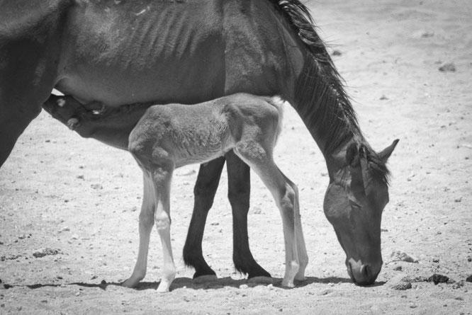namib horses in garub namibia