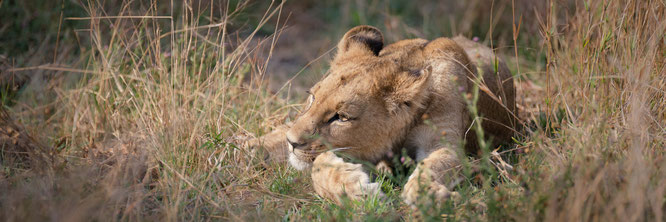 löwenbaby khwai konzession - moremi game reserve