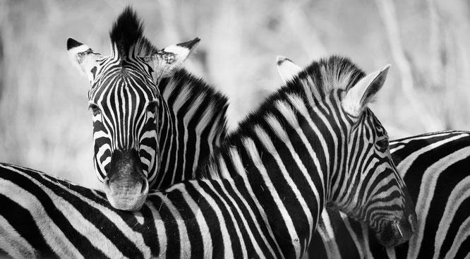 zebras | game drive | kapama private game reserve | südafrika