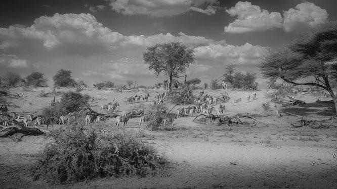 zebras makgadikgadi national park botswana